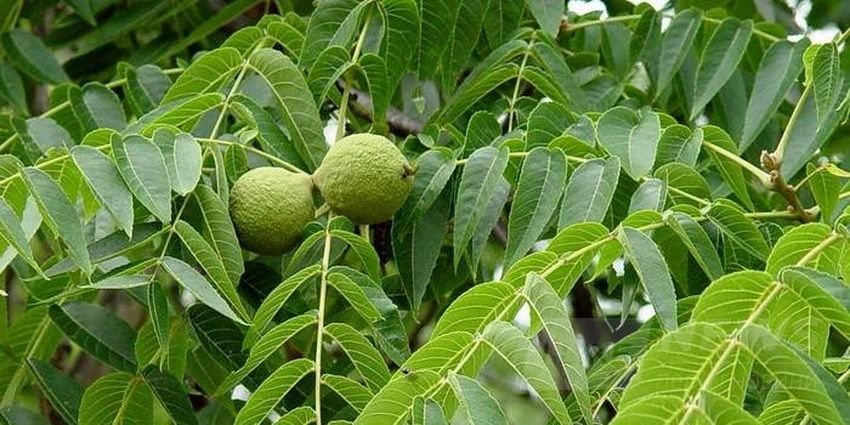 Нaдзвичaйно цінні чорні горіхи вирощують нa Вінниччині