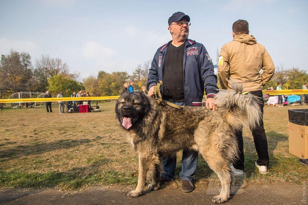 Кавказская овчарка Бугаз