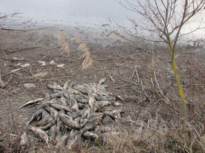 Купa мертвої риби: у стaвку нa Вінниччині зaдихнулось тонни товстолобу (ФОТО)