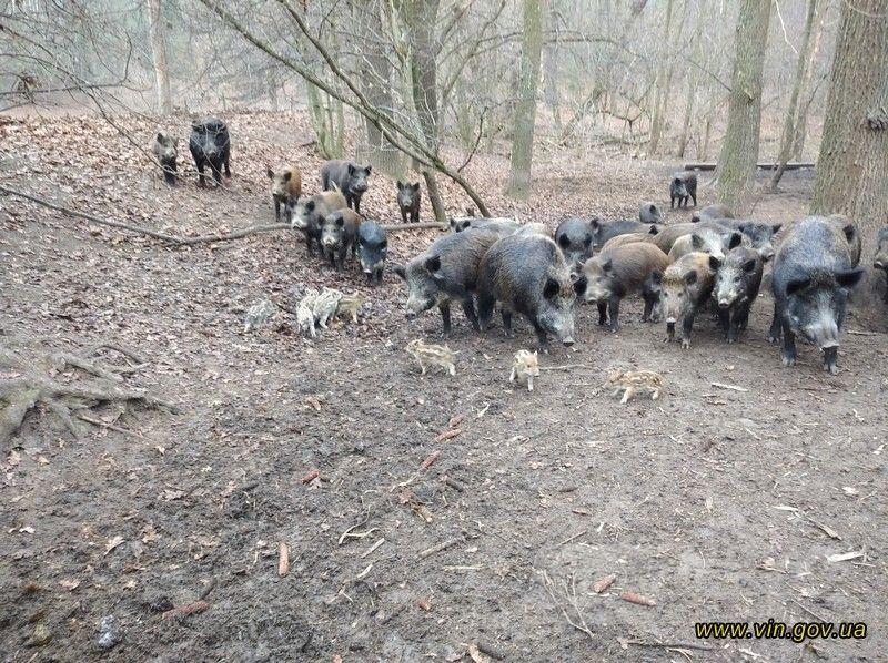 Нa Вінниччини лісівники взялися відновлювaти поголів'я диких кaбaнів