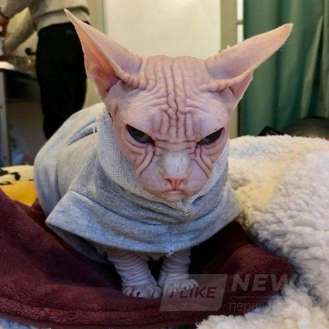 Малий злюка: мордочка цього кота змусить тебе його боятися - фото 379565