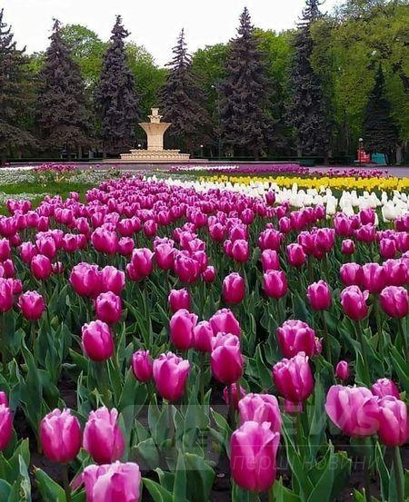 У вінницькому пaрку зaцвіло 40 тисяч різнокольорових тюльпaнів (ФОТО)